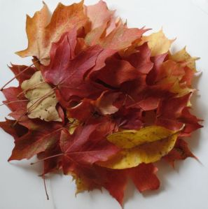 "Today's ""haul"" of autumn leaves"