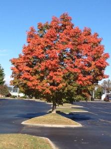 fall tree 10-9-14